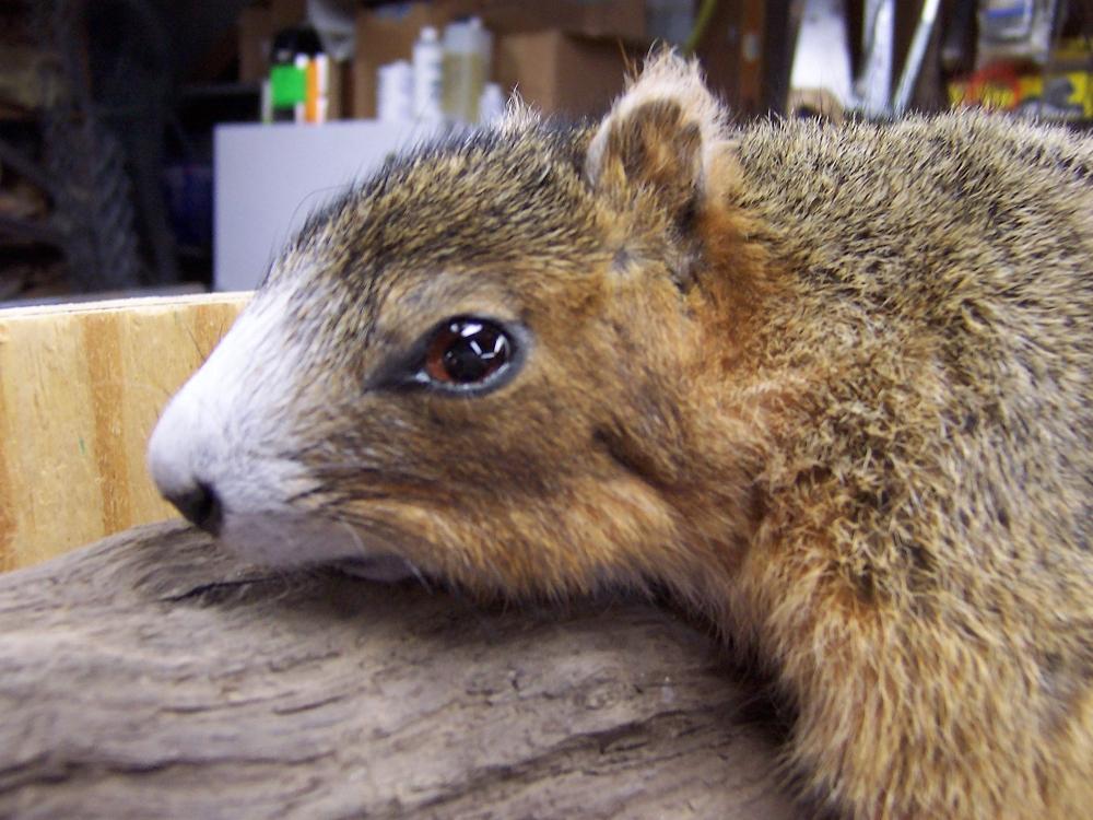N.c. Squirrel Season NC Taxidermist Life-Si...